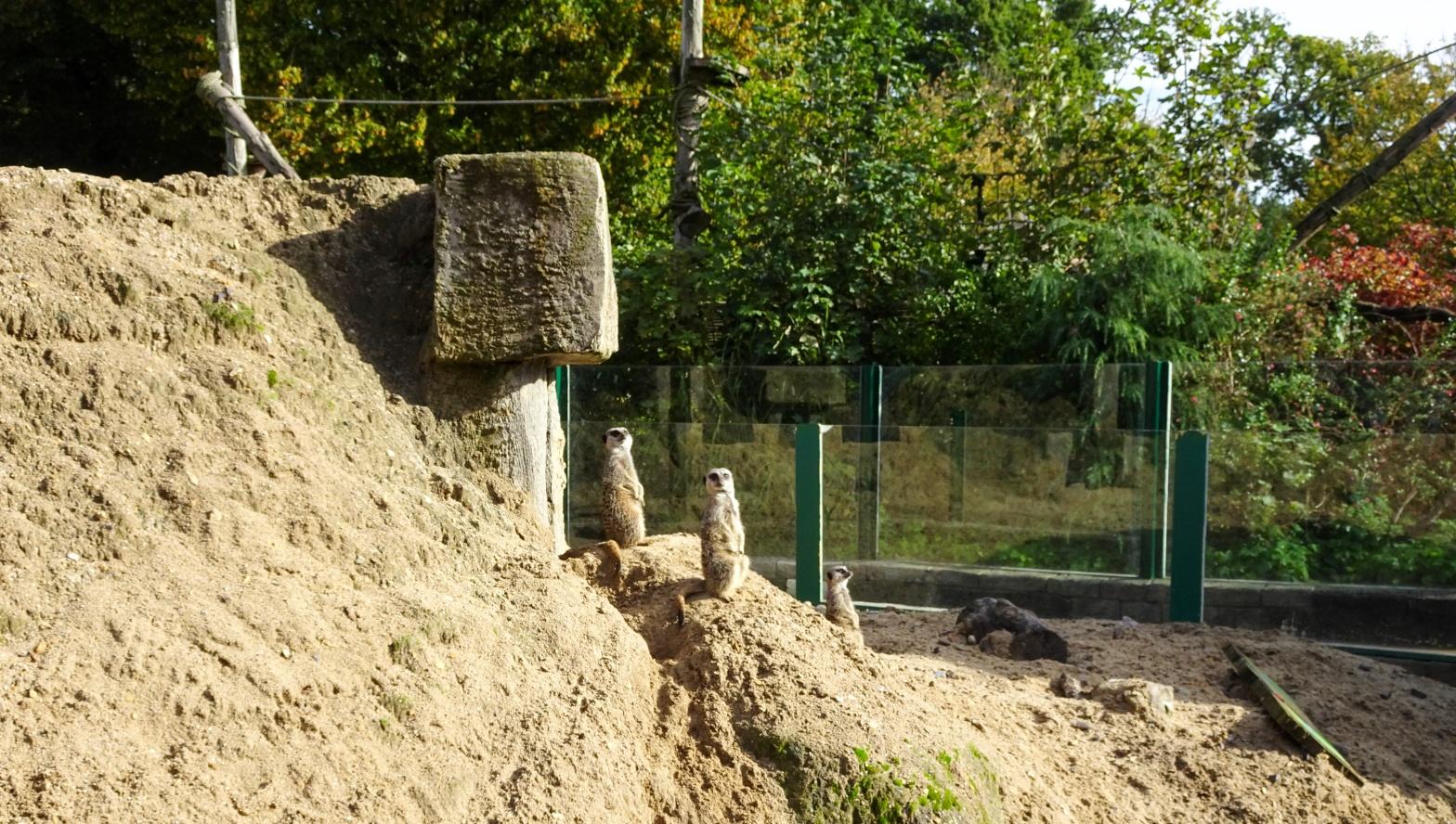 Longleat Safari Park, Meerkats