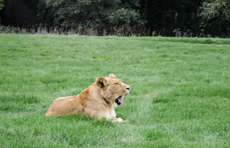 Longleat Safari Park, Lion