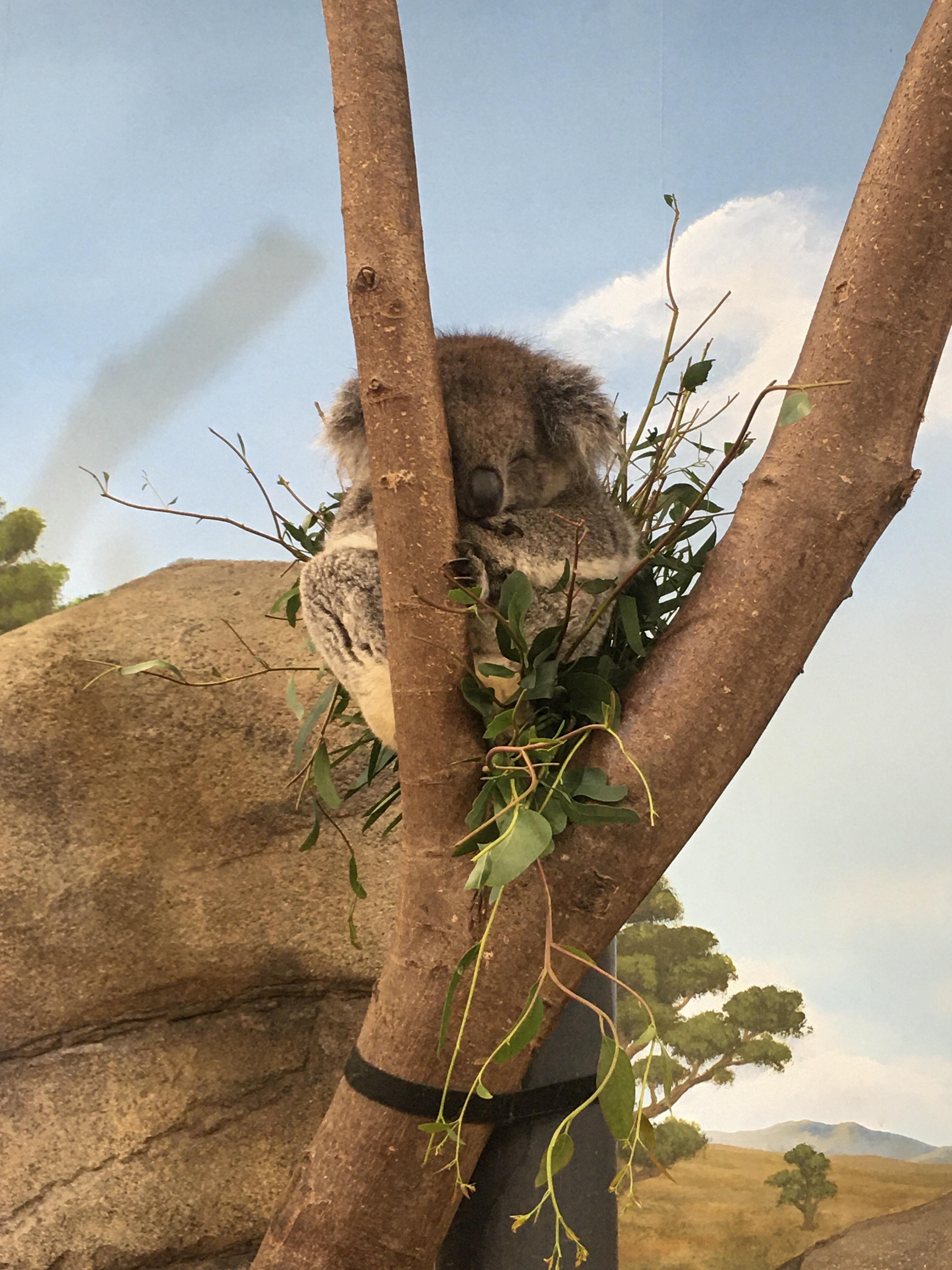 Longleat Safari Park, Koala