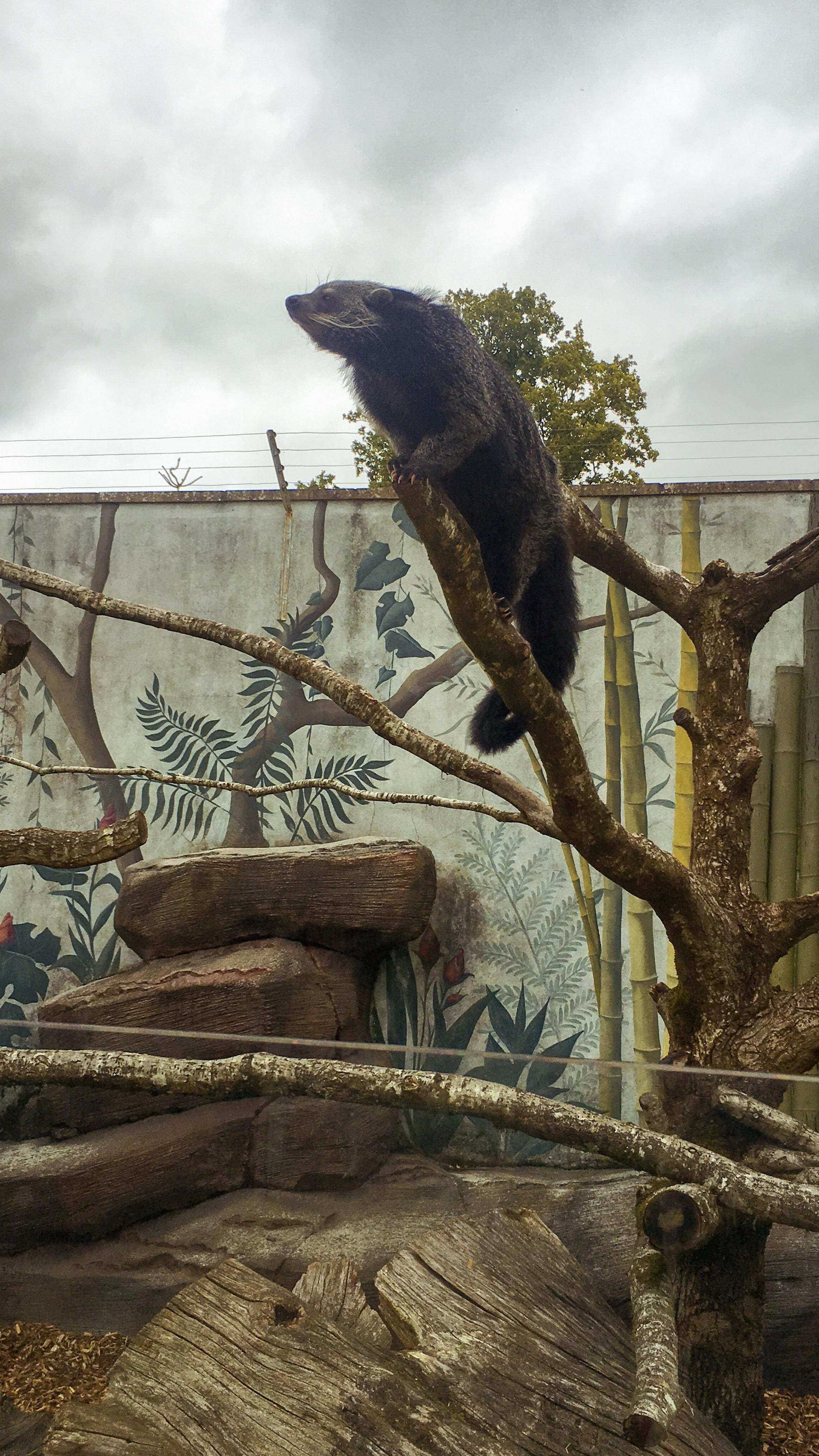 Longleat Safari Park, Binturong